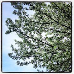 De lente is in het land en ook de eerste #bloesems zijn er weer #fruitbomen #haspengouw #natuurpracht #kleurrijk