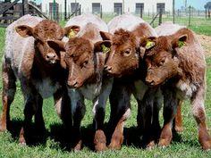 El ganado Shorthorn que se adapta muy bien a los sistemas pastoriles, es portador de buena conformación de carne y rendimiento de la canal; con un alto tenor de grasa subcutánea e intramuscular . Por: Juan Carlos Giménez Ramírez Con antecedentes que