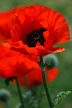 Oriental poppy. Papaver orientale. Huge, showy poppies in late spring and early summer. Long-lived perennials, up to 20 years or more.
