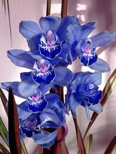 Blue cymbidium orchid