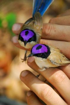 The purple-crowned fairywren (Malurus coronatus) is a species of bird . - The purple-crowned fairywren (Malurus coronatus) is a species of bird in the … – - Pretty Birds, Love Birds, Beautiful Birds, Animals Beautiful, Nature Animals, Animals And Pets, Cute Animals, Nature Nature, Exotic Birds