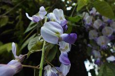 Flores de planta trepadora. San Roque del Acebal, Concejo de Llanes. Principado de Asturias. Spain.    [By Valentin Enrique].