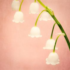 Fine art flower photography print of a lily of the valley flower by Allison Trentelman.