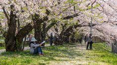 Sakura at Kakunodate Hanafubuki!
