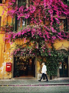 Climbing pink bougainvillea in Rome, Italy