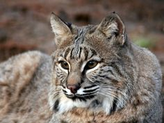 Bobcat-Male-Jacs