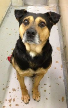 URGENT!!! PLEASE HELP THIS SWEET BOY!!!! LORAIN COUNTY DOG KENNEL ELYRIA, OHIO... Meet Kennel # 17, a Petfinder adoptable Rottweiler Dog | Elyria, OH | Kennel #  17  available for adoptionI'd say he's back, but he never left..... This boy is having a...
