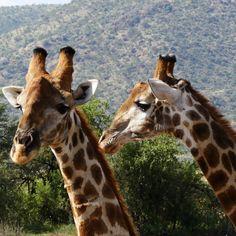Giraffes - Pilanesberg