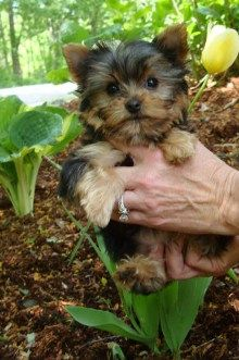 Our next pup is a yorkie from Denise/Country Home Yorkies