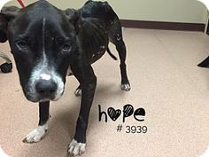 12/27/16-American Pit Bull Terrier Mix Dog for adoption in Alvin, Texas - Hope. No notes on this dog but from the looks of her either on the streets for a long time or extremely neglected.