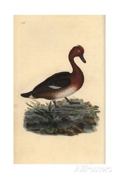 Ferruginous Duck From Edward Donovan's Natural History of British Birds, London, 1809 Giclee Print by Edward Donovan - AllPosters.ca