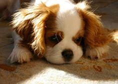 Puppies: CAVALIER KING CHARLES SPANIEL PUPPIES