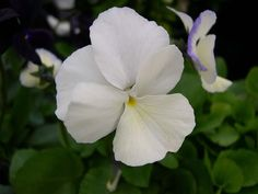 Viola Morwenna : Really beautiful pure white, scented flowers.  Floriferous, very hardy and with a neat habit. (EG 2013)
