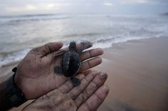Imagine an adorable fleet of tiny turtles flopping their way towards sea, leaving the beach behind them until their miraculously return, years later, to nest...