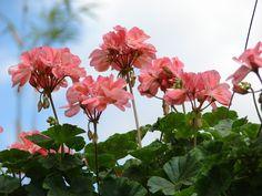 O principal atrativo ornamental do Gerânio mesclado (Pelargonium x hortorum 'Mosaic Red') são suas floradas em dois tons de cor-de-rosa...