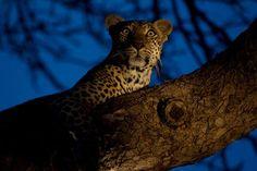 Female leopard, Salayexe  http://blog.arathusa.co.za/2013/06/rangers-diary-26-may-1-june-2013/