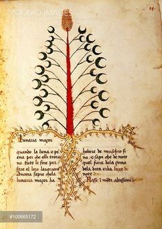 Manuscript, Italy, 15th century. Herbal from Trento. Plate: Herba Lunaria magior - Moonwort (Lunaria). Herb used for magic rituals in full moon nights (leaves), the top flower lights up at night. Manuscript 1591, folio 13, recto. Herbal with dedication to Saint Mark.