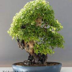87 Best Terrariums Bonsai Images On Pinterest Bonsai Trees