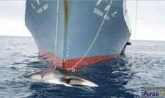 Battle lines drawn fast at global whaling…