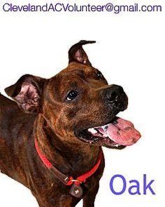 Cleveland, OH - Pit Bull Terrier Mix. Meet Oak-Urgent!!, a dog for adoption. http://www.adoptapet.com/pet/11625889-cleveland-ohio-pit-bull-terrier-mix