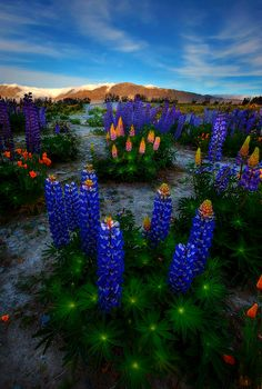 Colour field by Goff Kitsawad Landscapes new zealand +clouds, flower, flowers, lupines, mountains, nz, spring, summer, travel,  Goff_Kitsawad, 500px