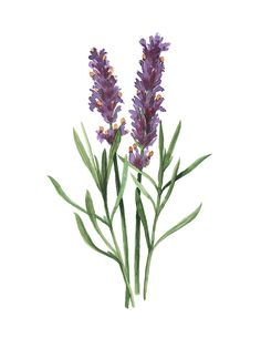ORIGINAL Lavender water-colour painting by ImaginaryNature on Etsy