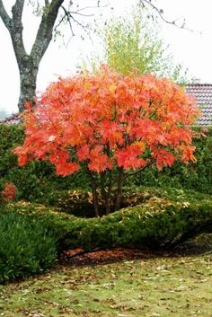 Sorbus commixta [Olympic Flame] = 'Dodong' AGM grows to be a very small, branching tree. Height: 16 - 20 ft and Spread: 16 ft. A stiff, columnar tree when young, leaves green, coppery in the spring with stunning orange and red tints in autumn. Columnar Trees, Deciduous Trees, Trees And Shrubs, Landscape Concept, Garden Landscape Design, Small Gardens, Outdoor Gardens, Japan Garden, Garden Trees