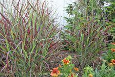 Panicum virgatum Ruby Ribbons™ Switch Grass
