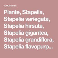 Piante, Stapelia,  Stapelia variegata, Stapelia hirsuta, Stapelia  gigantea, Stapelia grandiflora, Stapelia flavopurpurea, Stapelia erectiflora, Stapelia  leendertziae, Stapelia pearsonii, pianta