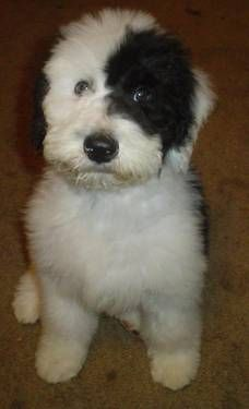 I MUST have one!! Sheepadoodle- Old English Sheep Dog/Standard Poodle