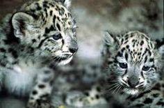 Snow Leopard Kittens :)