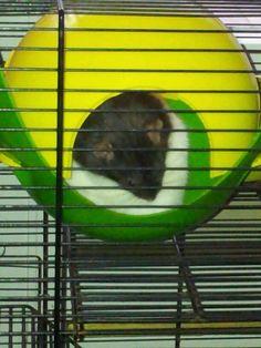 Schatige rat