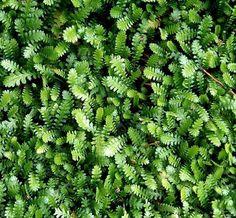 Køb planter online, stort udvalg af bunddække, du kan bl.a. købe Trædebregne minima Leptinella (Cotula) minima fra kun 10,95 kr.