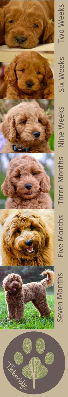 Goldendoodle Puppy Time Lapse: watch a puppy grow up!