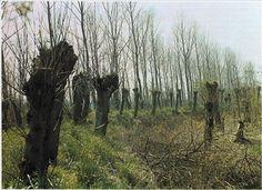 Hvidpil (Salix alba) ses ofte stynet ligesom landevejspoppel. De enårige vidjer giver glimrende materiale til kurvemagerarbejder.