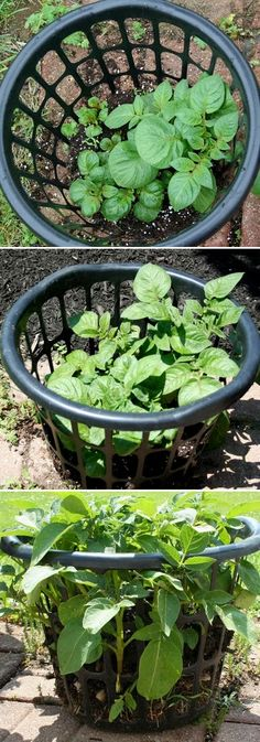 Growing potatoes in a laundry basket - seems like an interesting $1.00 experiment.