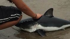 The baby Salmon Shark had beached itself in the shallow waters at San Francisco's Land End. At that moment, Surbhi Sarna knew she had to take action.