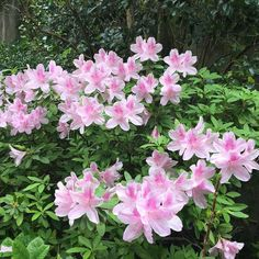 George Tabor Azalea #frenchquarter #nolapatios #nola #neworleans #followyournola #maisonvitry #flora #flowers #flowerlovers by maisonvitry