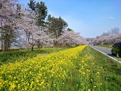 Canola flower and cherry blossoms at Oogta village, Akita