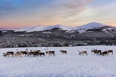 A Cairngorms reindeer adoption scheme launched in the 1990s has more than 1,000 supporters worldwide