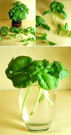 Want to have an endless supply of basil? The good news is you can regrow them from basil cuttings. Put basil stems about 4 inchs long in a glass of water and leave in a sunny spot. When the roots are around 2-inches long then transfer them to pots filled with potting compost.
