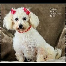 ― Bichon Frise Rescue ― ADOPTIONS Bichon Frise Rescue, Post Animal, Adoption, Dogs, Cute, Animales, Foster Care Adoption, Pet Dogs, Kawaii