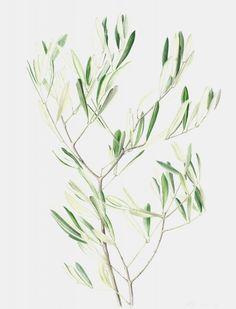 young olive leaves - rebecca john