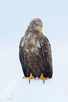 White-Tailed Eagle by Edwin Kats