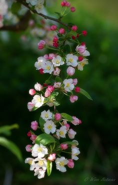Cascading Apple Tree Blossoms ~ by Wim Bolsens