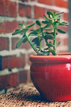 Jade Plant | G.A.R. Photos  love the green and red combo