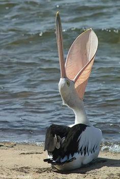 Pelican. Catching rays.