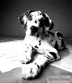 Puppy. Harlequin Great Dane. http://media-cache4.pinterest.com/upload/34973334575815455_rnuOqrJA_f.jpg sostinkinhappy dear jeff buy me a puppy