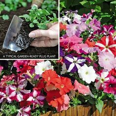 Holywell Lane Plants Over plant varieties available. Cottage Garden Plants, Petunias
