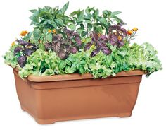 Growing greens and herbs in a container